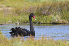 Black swan swimming in pond Stock Photography