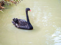 Black swan swimming on the pond. In the park royalty free stock photography