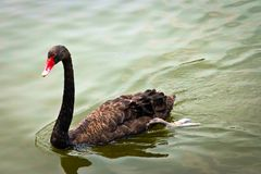 Black Swan is swimming. In the pool stock photography