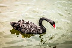 Black Swan is swimming. In the pool stock images