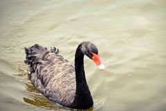 Black Swan is swimming. In the pool royalty free stock photos