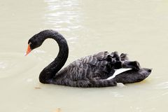 A black swan swimming on pool of blue water. Cygnus Royalty Free Stock Photography