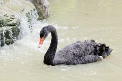 A black swan swimming on  pool of blue water. Cygnus Royalty Free Stock Photo