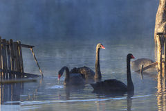 A black swan swimming on a pool water. Stock Photography