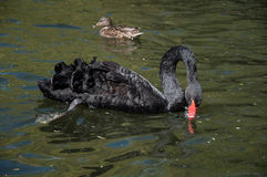 Black swan swimming in water Stock Images