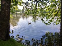Black swan swimming in the water through the trees Stock Images