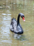 Black  swan swimms is a sunny day in  a pond near the shore Royalty Free Stock Photography