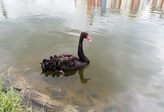 Black swan swims on the pond royalty free stock images