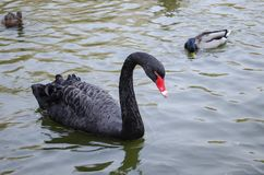 Black swan swims in a pond with ducks. Closeup stock image