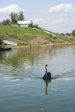 Black Swan in their natural habitat Royalty Free Stock Images