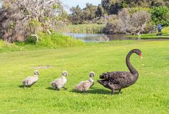 Black Swan With Cygnets. A black swan with three cygnets walking in line across the grass at Herdsman Lake in Perth, Western Australia royalty free stock photos