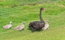 Black Swan With Cygnets. A black swan with three cygnets walking in line across the grass at Herdsman Lake in Perth, Western Australia royalty free stock photo