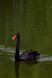Black swan. A Black swan in tne zoo Royalty Free Stock Photography
