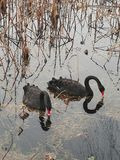 Black swan to the west lake in hangzhou, Stock Image