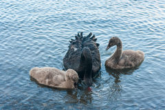 Black swan with two cygnets Stock Photos