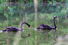 The Black Swan. Two the black Swan in the river royalty free stock photography