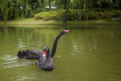 Black swan. Two black swans are falling love with each other Stock Photo