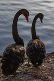 Black swan. Two black swans are falling love with each other Stock Photography