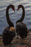 Black swan. Two black swans are falling love with each other, their necks form the heart shape Stock Image