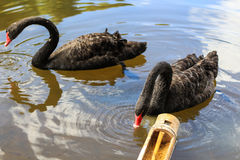 Black swan. Two black swans float in the lake and eat feed in bamboo tube Royalty Free Stock Photo