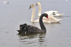 Black Swan And Two young Swans behind. Swimming in the River Corrib, Galway Stock Image