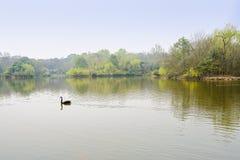 Black swan in verdant lake of spring Stock Photo