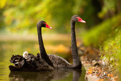 Black swan. Very happy to take pictures royalty free stock image