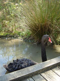 Black Swan in Victoria, Australia. Close-up of black swan wading in pond in Victoria, Australia Stock Image