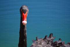 Black swan vivid color picture royalty free stock images