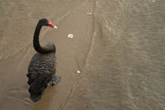Black Swan Walks Along a Beach in Lakes Entrance, Victoria, Australia Royalty Free Stock Image