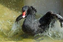 Black Swan bathing. A black swan washing it`s wings royalty free stock photo