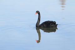 The black swan Royalty Free Stock Image