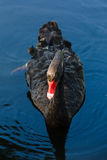 Black swan Stock Images