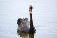 Black Swan in water Royalty Free Stock Image