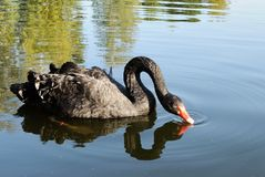 Black swan on the water Stock Photography