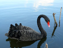 Black swan water drop Royalty Free Stock Image