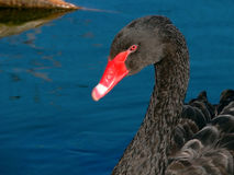 Black swan on water. Fragment. The black swan floats on a reservoir surface. Summer, calmness and a pacification. Fragment Stock Image