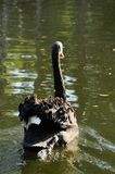 Black swan on the water Royalty Free Stock Image