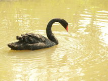 Black swan. On water wave Royalty Free Stock Photo