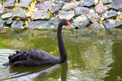 Black swan on the water. In the wild Royalty Free Stock Photography