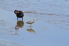 Black Swan and White-Faced Heron Royalty Free Stock Photo