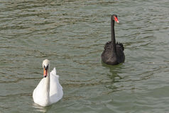 Black and White Swan Stock Images