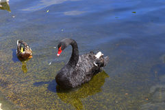 Black swan and wild duck Royalty Free Stock Images