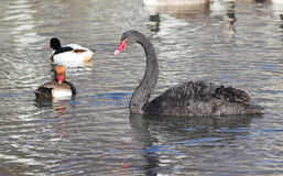 Black swan with wild ducks Royalty Free Stock Images