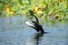 The black swan wings Stock Photography