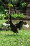 Black swan wings in the moment. Black swan spreading its wings in the moment Stock Photo