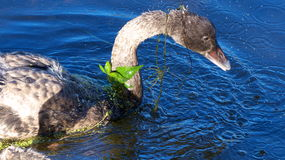 Black Swan .... young Cygnet. A young Cygnet Swan after swimming though foliage floating on the water Stock Photography