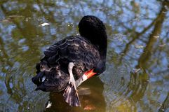 The black swan. In zoo Stock Photo