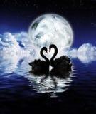 Black swans Stock Photography