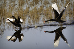 Black Swans. A Black Swan guards its nest by chasing away a threat Stock Photo